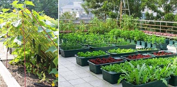 Chọn các loại rau dễ trồng cho người mới bắt đầu