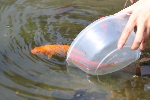 Thả cá chép gắn liền với ngày cúng ông Táo
