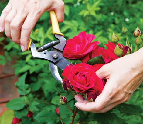 Cách cắt tỉa hoa hồng bằng dụng cụ làm vườn