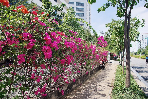 Hàng rào cây hoa giấy