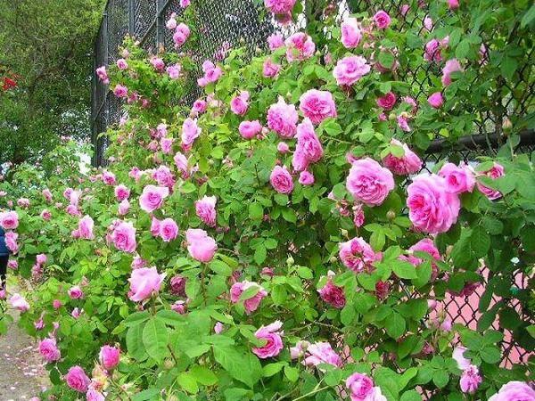 Hàng rào cây hồng leo