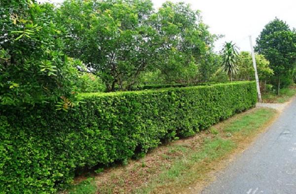 Máy tỉa hàng rào Makita giúp bạn tạo nên những bức tường cây xanh đẹp mắt