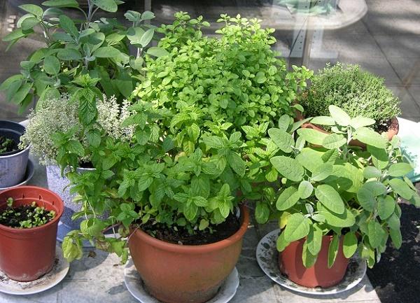 Chậu đất nung thích hợp để trồng cây gia vị