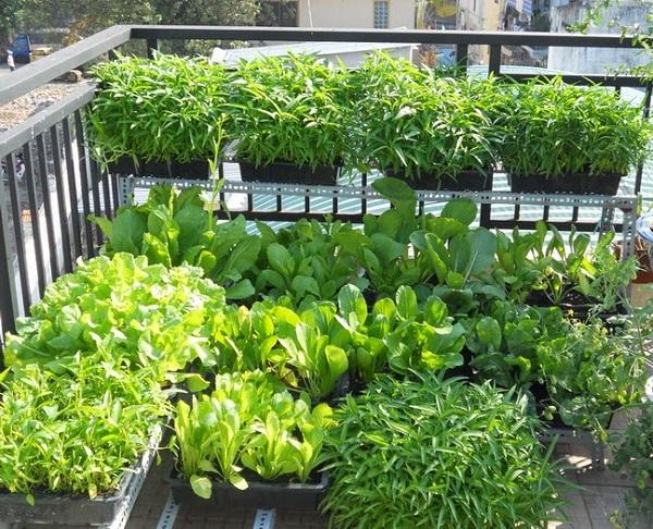 Chăm sóc thường xuyên để có vườn rau xanh tốt