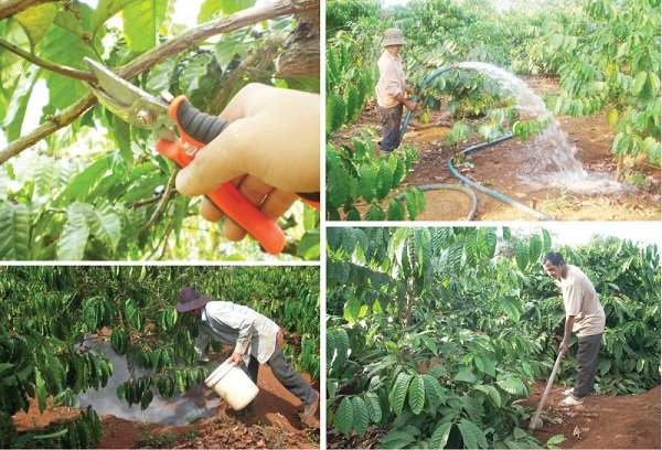 Tổng hợp chăm sóc cây cà phê