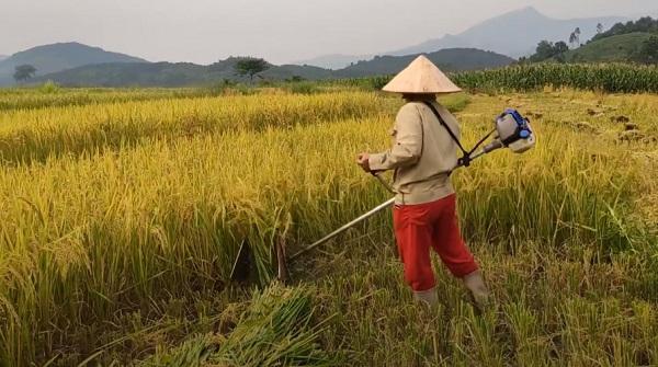 Sử dụng máy cắt cỏ chế thành máy cắt lúa