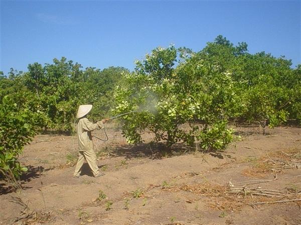 Bón phân tưới nước cho cây điều