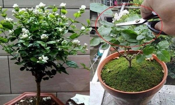 Kỹ thuật trồng hoa nhài
