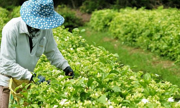 Nghề trồng hoa nhài mang lại lợi ích kinh tế cho bà con