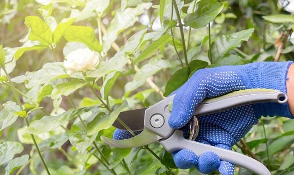Cắt tỉa hoa nhài đúng cách