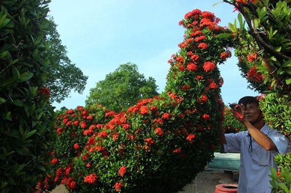 Tỉa cành tạo tán hoa bông trang