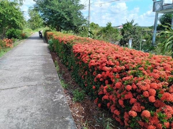 Hoa bông trang được trồng làm hàng rào