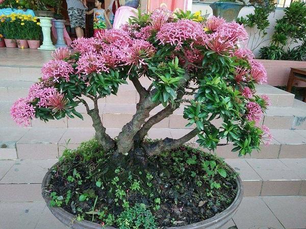 Hoa bông trang bonsai
