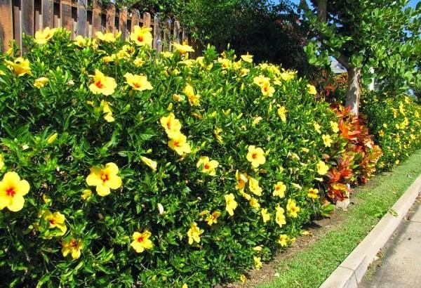 Hoa râm bụt kép được trồng làm hàng rào cực đẹp