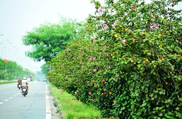 Hoa râm bụt kép làm hàng rào hoa rất đẹp