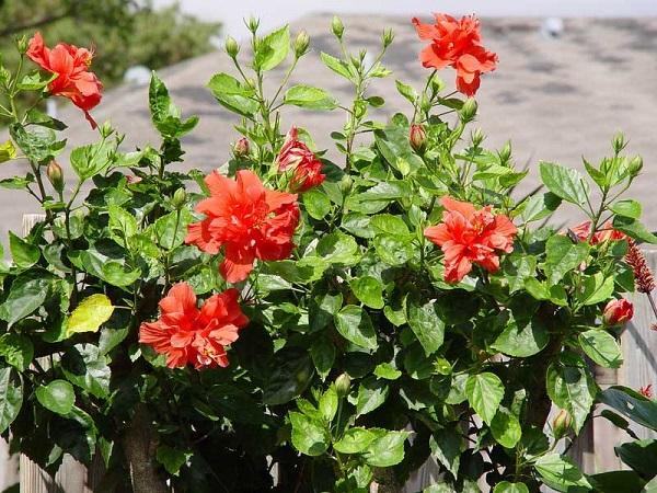 Đặc điểm hoa râm (dâm) bụt kép