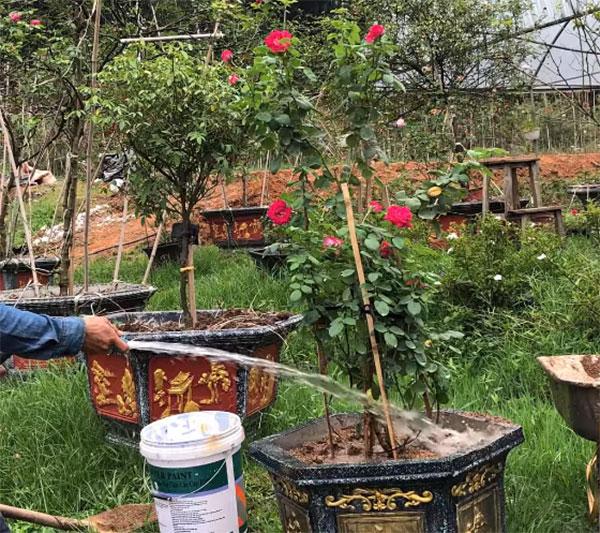 Tưới cây hoa hồng