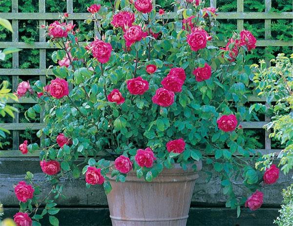 Trồng cây hoa hồng đẹp