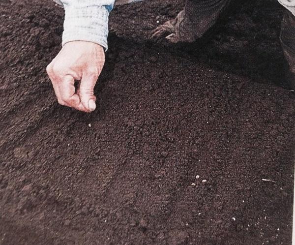 Gieo hạt theo hàng giúp chậu rau phát triển đều