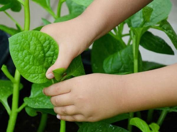 Thu hoạch rau trồng phù hợp