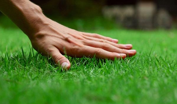 Cách chọn cỏ trồng trong sân vườn