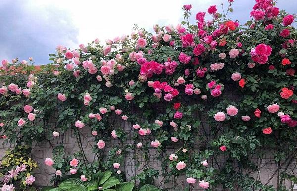 Hàng rào hoa hồng đẹp