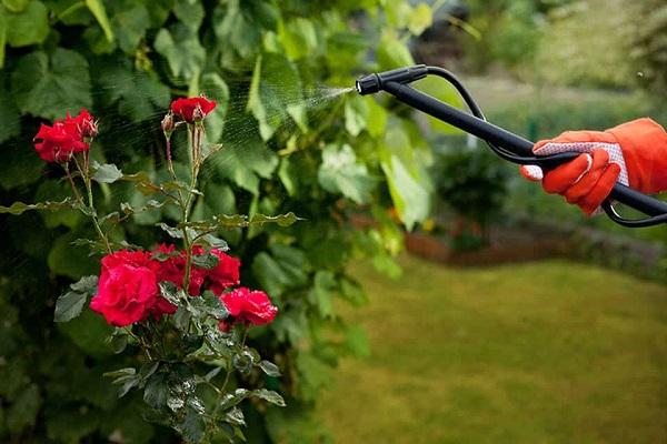 Cách chăm sóc và bón phân cho hoa hồng