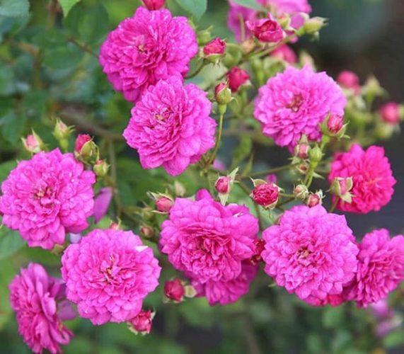 Hoa hồng chùm Sweet Chariot rose