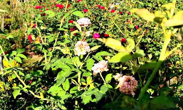 cây hoa hồng mùa hè