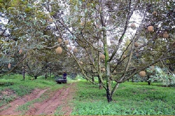 Cắt cành đúng kỹ thuật để đảm bảo trái