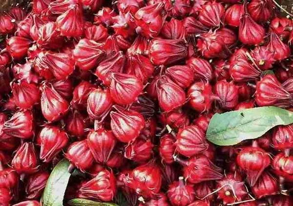 cách trồng hoa atiso đỏ