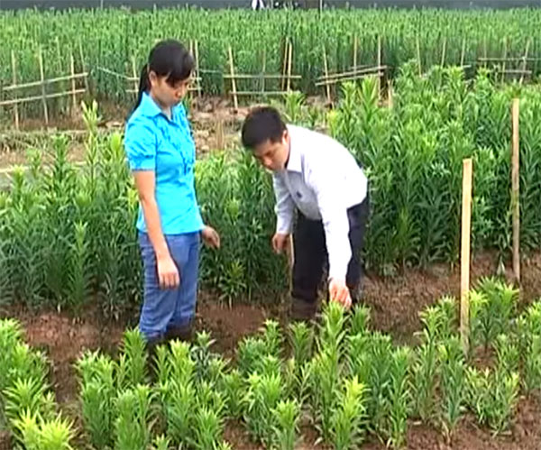 cách trồng hoa loa kèncách trồng hoa loa kèn