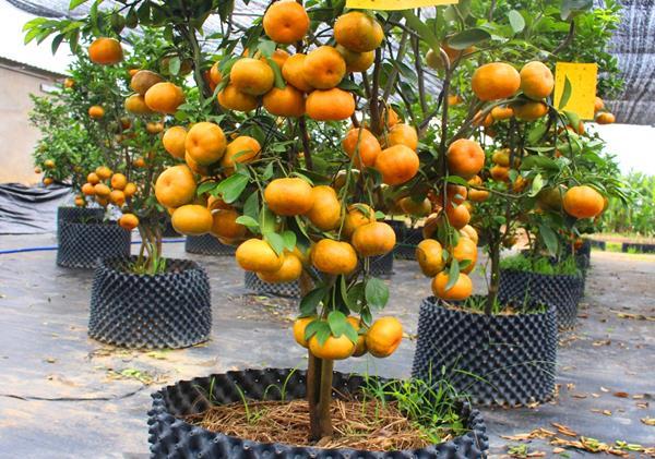 cây ăn quả trồng trong chậu