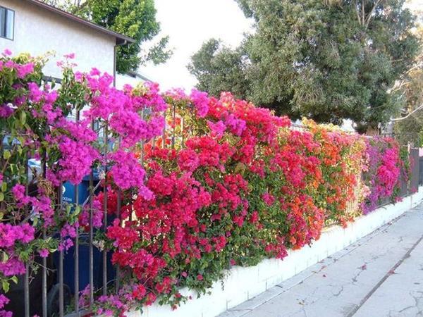 Cách chăm sóc hoa giấy nở quanh năm