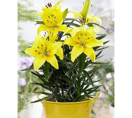 Hoa loa kèn vàng