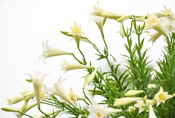 hoa loa kèn mùa nào