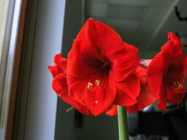 Hoa loa kèn ý nghĩa