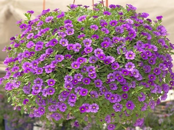 mùa hè nên trồng hoa gì ở ban công