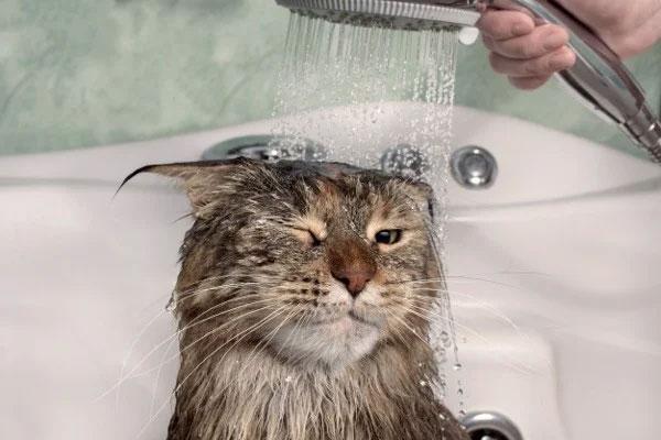 tắm cho mèo