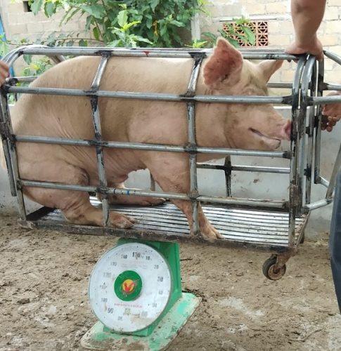 Cân lợn bằng cân đồng có nhiều hạn chế