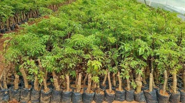cách trồng đinh lăng trong chậu