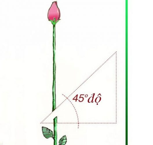 Cách trồng cây hoa hồng