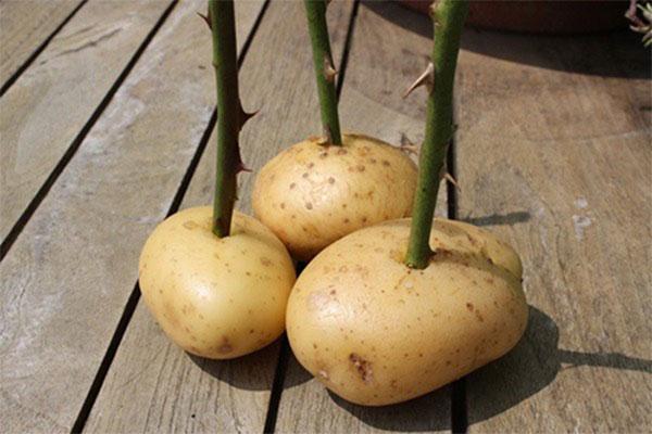 cách trồng hoa hồng bằng củ khoai tây