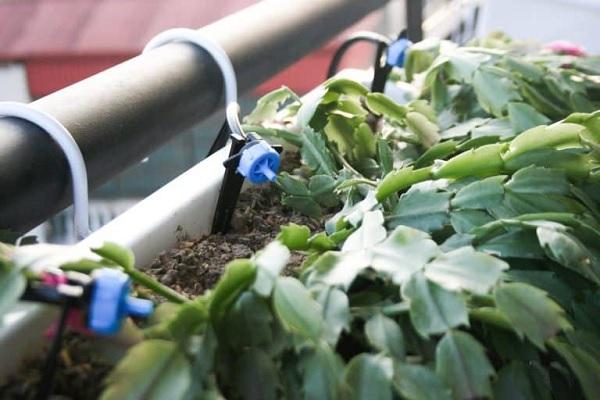 Lắp đặt hệ thống tưới nhỏ giọt từ ống nhựa