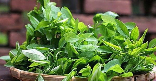Rau ngót thích hợp trồng vào mùa mưa