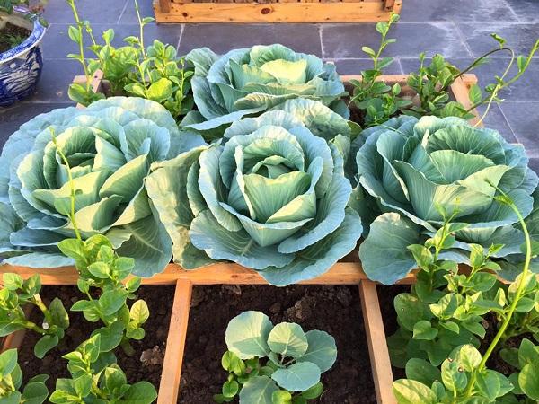 Cải bắp là loại rau quen thuộc trong các tháng 11, 12
